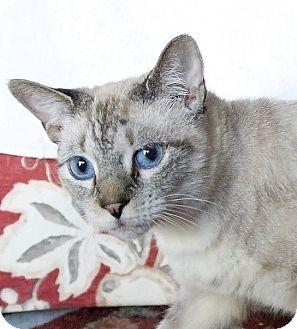 Siamese Cat for adoption in Naples, Florida - Minouche