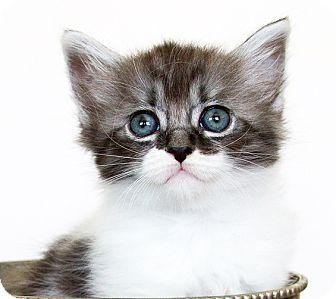 Domestic Mediumhair Kitten for adoption in Irvine, California - Gus
