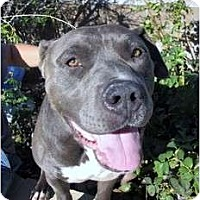 Adopt A Pet :: Louie - Bellflower, CA