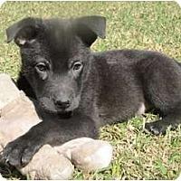 Adopt A Pet :: Tank - Arlington, TX