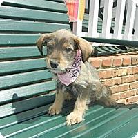 Adopt A Pet :: Josie - Crystal River, FL