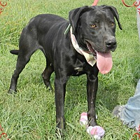 Labrador Retriever/Rottweiler Mix Dog for adoption in Lawrenceburg, Tennessee - Bella