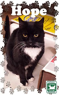 Domestic Shorthair Cat for adoption in Fallston, Maryland - Hope