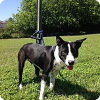 Adopt A Pet :: Mary-Kate - San Antonio, TX