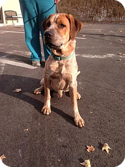Redtick Coonhound Mix Dog for adoption in Cashiers, North Carolina - Beauford