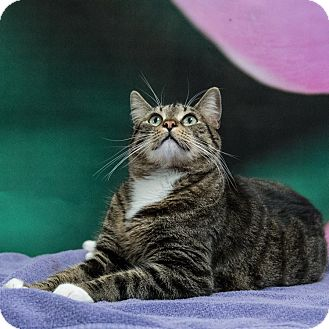 Domestic Shorthair Cat for adoption in Houston, Texas - Kevin