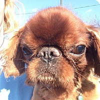 Adopt A Pet :: Red - Cumberland, MD