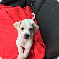 Adopt A Pet :: Zeke Elliott - Pendleton, NY