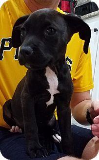 Labrador Retriever Mix Puppy for adoption in Fort Collins, Colorado - Ashley