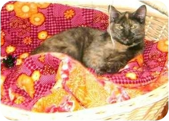 Domestic Shorthair Cat for adoption in Etobicoke, Ontario - Stella
