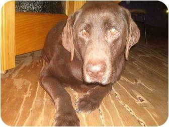 Labrador Retriever Dog for adoption in North Jackson, Ohio - Sully
