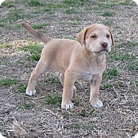Adopt A Pet :: Breeze - Copperas Cove, TX