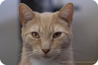 Domestic Shorthair Cat for adoption in Long Beach, New York - Tawny