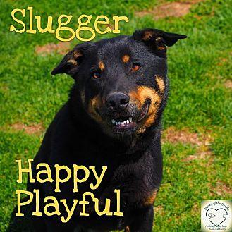 Rottweiler/Chow Chow Mix Dog for adoption in Washburn, Missouri - Slugger