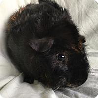 Adopt A Pet :: Jax - Steger, IL