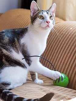 American Shorthair Cat for adoption in Santa Monica, California - Gosling