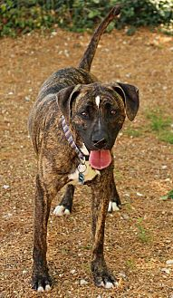 Boxer/Pit Bull Terrier Mix Dog for adoption in O Fallon, Illinois - Brutus