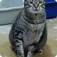 Domestic Shorthair Cat for adoption in St. Louis, Missouri - Sam