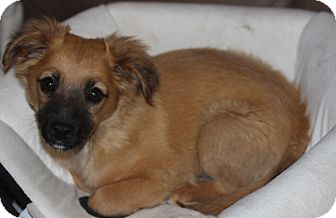 Terrier (Unknown Type, Small) Mix Puppy for adoption in Las Cruces, New Mexico - Vanilli