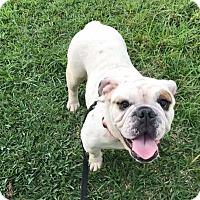 Adopt A Pet :: Clover - Odessa, FL