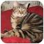 Photo 3 - Domestic Shorthair Cat for adoption in Cincinnati, Ohio - Gypsy