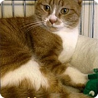Adopt A Pet :: Honey - Medway, MA