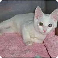 Adopt A Pet :: White Kitten - Secaucus, NJ