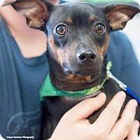 Adopt A Pet :: Cain - Knoxville, TN