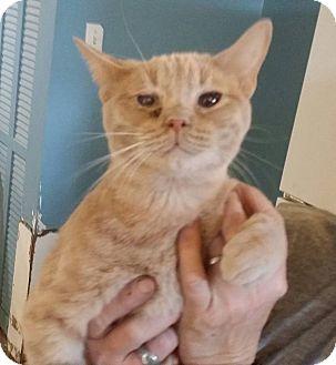 American Shorthair Cat for adoption in Pueblo, Colorado - Curly
