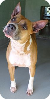 Pit Bull Terrier Mix Dog for adoption in Brooksville, Florida - MEISHA