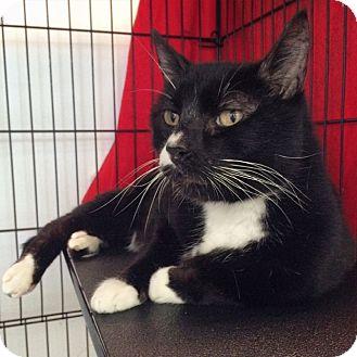 Domestic Shorthair Cat for adoption in Portland, Oregon - Raja Maurice