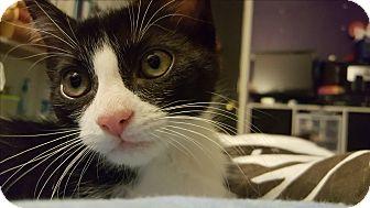 Domestic Shorthair Cat for adoption in Rocklin, California - Wasabi