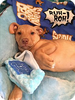 Labrador Retriever Mix Puppy for adoption in East Windsor, Connecticut - Colby-ADOPTION PENDING