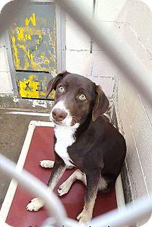 Australian Shepherd/Labrador Retriever Mix Dog for adoption in Staunton, Virginia - Rocky
