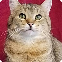 Domestic Shorthair Kitten for adoption in Colfax, Iowa - Gavin