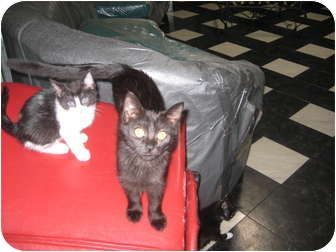 Domestic Shorthair Kitten for adoption in Jeffersonville, Indiana - Wendy
