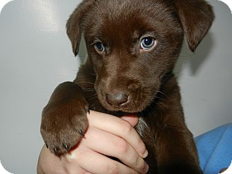 Labrador Retriever Mix Puppy for adoption in South Jersey, New Jersey - John