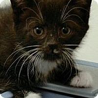 Adopt A Pet :: Olivia - Reston, VA