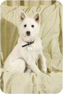 American Eskimo Dog Mix Puppy for adoption in Portland, Oregon - Itchy