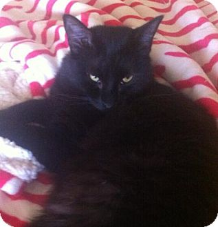 Domestic Mediumhair Cat for adoption in Hurst, Texas - Baloo * courtesy post
