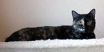 American Shorthair Cat for adoption in Tomball, Texas - Sweetie Cat