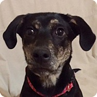 Adopt A Pet :: Belle - in Maine - kennebunkport, ME
