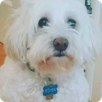 Adopt A Pet :: RYAN MALTIPOO - Pompton Lakes, NJ