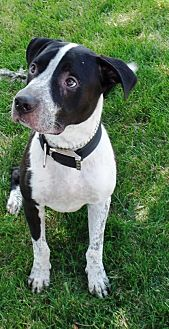 Collie/Labrador Retriever Mix Dog for adoption in Crown Point, Indiana - Dexter