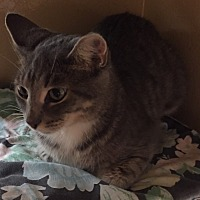 Domestic Shorthair Cat for adoption in Morganton, North Carolina - Debbie