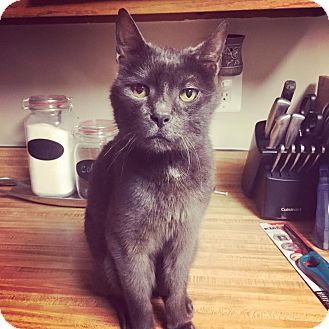 Russian Blue Cat for adoption in Waldorf, Maryland - Dusty