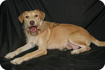 Terrier (Unknown Type, Medium) Mix Dog for adoption in Lufkin, Texas - Golden Girl
