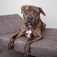 Mastiff Mix Dog for adoption in Mission Hills, California - Buzz