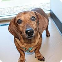 Adopt A Pet :: Ted - New Smyrna Beach, FL