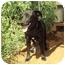 Photo 1 - Labrador Retriever/Cocker Spaniel Mix Dog for adoption in Anton, Texas - Max